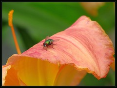 IMG_5371 Surfer Dude 6-29-16 (arkansas traveler) Tags: flies insects bichos bugs flowers lily orange zoon telephoto nature naturewatcher natureartphotography bokeh bokehlicious