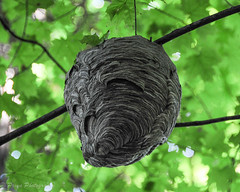 Paper Wasp Nest (This is the original color of the nest...No editing) (EXPLORED - on Sep 22, 2016) (priyasharma24) Tags: wasp nest waspnest deepforest insect paperwasp