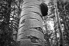 Old Aspen (brucetopher) Tags: aspen tree bark white platinum silver texture tall woods wild nature natural light sunlight wood damp wilderness black blackandwhite bw blackwhite monochrome