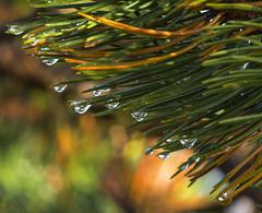 After the rain - D8E_4078 (Viggo Johansen) Tags: rain drops pine autumn
