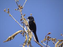 DSC06423 (familiapratta) Tags: sony dschx100v hx100v iso100 natureza pssaro pssaros aves nature bird birds montesio montesiomg brasil