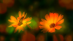 Insect (augustynbatko) Tags: insect flowers flower summer macro nature outdoor bokeh