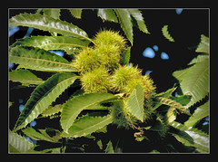 Esskastanien (karin_b1966) Tags: baum tree bltter leaves schlossparkbiebrichwiesbaden 2016 esskastanie marone yourbestoftoday