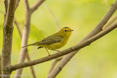 Yellow on yellow (rdroniuk) Tags: birds smallbirds passerines warblers wilsonswarbler cardellinapusilla oiseaux passereaux parulines parulinecalottenoire sedgewickforest birdsofontario