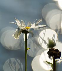 Shadow's at Work. (Omygodtom) Tags: daisy flickr flower abstract art shadow reflections river scene scenic senery natural nikon d7100 dof bokeh