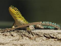 Lagartija esbelta macho (Liolaemus tenuis) posando (Pablo Moreno V) Tags: lagartija liolaemustenuis reptiles chile canon herpetologia lizard lagarto