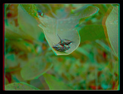 Come on Baby, Let's Fly ! - Anaglyph 3D (DarkOnus) Tags: pennsylvania buckscounty huawei mate8 cell phone 3d stereogram stereography stereo darkonus closeup macro insect popillia japonica mating japanese beetles come baby lets fly ttw anaglyph