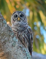 D71_8569 (Capt A.J.) Tags: barred owl