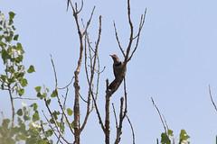 Red-shafted Northern Flicker (psychostretch) Tags: animal bird cherrycreekstatepark colaptesauratus flicker northernflicker redshaftednorthernflicker woodpecker