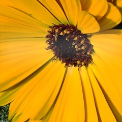 Marigold (joy_coyle) Tags: hipstamatic franklin pistil tastypop