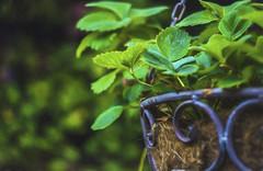 No More Strawbs (Sarah Fraser63) Tags: hangingbasket strawberries fruit summer flowers leaves green bokeh helios vintagelens