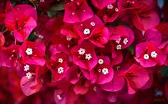 Shinning Bright in the Rain (Jocey K) Tags: bougainvillea newzealand akaora flowers bankspeninsula