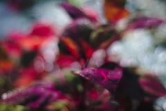 DSC_0033 (criscrot) Tags: parcsaintemarie nancy lorraine bokeh colors d200 50mm18 automne autumn couleurs