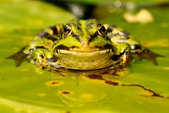 Groene kikker op blad (Roy Kerkdijk) Tags: macro natuur dieren weerspiegeling groenekikker amfibieen