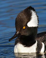 Hooded Merganser (mattlev12) Tags: hooded merganser