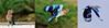 Get..set...Go!!!!!! (ramsfotobites - my experiments with light) Tags: bif blue jay coracias benghalensis indian roller available light bird watching directional spread wings 2012 70300mm d90 india kelambakkam nikon aves avian birding birds combination combo flickr flight inflight incredibleindia natural nature photowalk ramakrishnanrajamani ramsfotobites southindia wild avifauna birdphotography avianfauna fauna untamed nikkor coraciasbenghalensis indianroller animal planet animalplanet