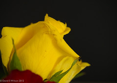 Yellow Petals (David S Wilson) Tags: uk england rose yellow raw 2012 lightroom onblack iso640 leica45mmf28macrolens davidswilson olympusomdem5 huelightcolourprofile