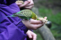Aus der Hand fressen (4) (MaretH.) Tags: bird animal hands hand eat budgie feed tier vogel hnde fressen fttern kinderhand kinderhnde