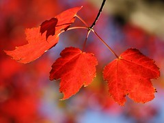 Fall Foliage (donsutherland1) Tags: autumn red ny newyork fall leaves october bronx n