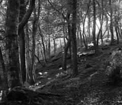 (Lee Fryer) Tags: light mamiya swansea forest woods path xp2 medium format mf 6x7 ilford rb67