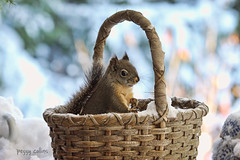 Squirrel in a Basket (Peggy Collins) Tags: winter snow canada squirrel basket bokeh britishcolumbia squiggy sunshinecoast pacificcoast douglassquirrel peggycollins squirrelinwinter