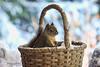 Squirrel in a Basket (Peggy Collins) Tags: winter snow canada squirrel basket bokeh britishcolumbia squiggy sunshinecoast pacificcoast douglassquirrel peggycollins squirrelinwinter