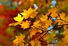 Hello Fall! (... Arjun) Tags: autumn red orange color fall nature colors leaves yellow canon landscape eos leaf maple asia paint dof natural bokeh outdoor mark iii korea 5d southkorea hdr 2012 namiisland canonef24105mmf4lis bluelist bokehlicious canoneos5dmarkiii