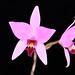 L. anceps (Blumen Insel X Irwins) - Alex Nadzan