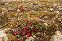 Arctic Autumn Plants Abandoned Rock Crystal Mine Site Arctic Wrangel Island UNESCO World Heritage Site Russia (eriagn) Tags: travel pink flowers autumn summer plants mist history nature clouds spectacular landscape skulls skeleton ancient flora skies russia timber wildlife documentary dramatic unescoworldheritagesite naturalhistory arctic explore mammoth bones remote geography geology polar vole habitat volcanic survival climate cloudscape isolated topoftheworld tundra lemming stoney undulating snowyowl shale muskox arcticfox wrangelisland schist travelphotography berengia polarregion russiafareast arcticflora arcticflowers heritageexpeditions eriagn ngairelawson scientifichuts