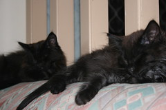 M and M (planet_b) Tags: cats cat death persian kitten kill australia kittens queensland doom felines