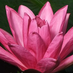 Nymphaea Piyalarp, Princess of Wales Conservatory, Royal KEW Gardens @ 29 September 2012 (2) (Kam Hong Leung  KEW Gardens_01) Tags: park wood pink blue autumn winter red summer orange plant flower tree green london heritage nature ecology crimson grass yellow kew fauna garden season insect gold golden spring flora education flickr waterlily purple blossom wildlife royal conservation science bee lilac greenhouse stamen tropical mauve environment botanic bud pollen botany wildflower horticulture glasshouse nymphaea palmhouse springtime biodiversity kewgarden londonpark temperate stamina princessofwalesconservatory pollinator daviesalpinehouse waterlilyhouse imagelibrary leungkamhong yourkew naturalneighbourhood tempratehouse friendsofkew nymphaeapiyalarp kewonflickr kewimagelibrary