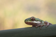 Tree frog @ New Orleans Louisiana 2012 (Jan Rillich) Tags: wild nature beautiful beauty animal fauna digital canon photography eos photo flora louisiana foto fotografie jan neworleans picture free canon5d treefrog 2012 animalphotography laubfrosch janrillich rillich