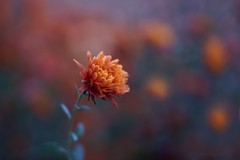 Orange Chrysanthemum (j man ) Tags: life lighting friends light orange flower color macro art fall texture nature floral colors beautiful closeup composition lens photography illinois cool flickr dof blossom bokeh pov background sony details favorites 11 depthoffield pointofview mum sp ii views di if f2 tamron comments ld slt 2012 chrysanthemums jman a65 af60mm mygearandme flickrbronzetrophygroup