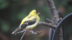 American Goldfinch (Rick Wright, Victor Emanuel Nature Tours) Tags: newjersey october finches americangoldfinch goldfinches fringillidae spinus fringillids