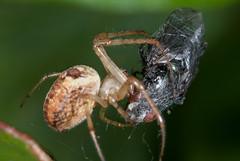 Bluebottle fly -  worst nightmare (Mister Electron) Tags: macro insect spider fly nikon web arachnid predator bluebottle invertebrate venom predation spidersilk extensiontubes nikond700 50mmf28elnikkor