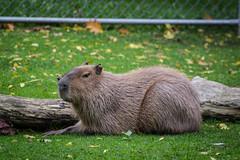 Capybara (Kyle Huynh) Tags: highpark capybara highparkzoo