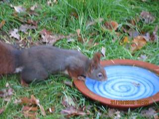 Eichhörnchen, NGID430789604
