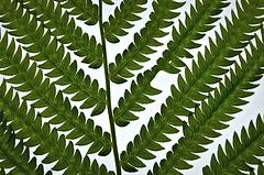 Fern Macro (imageClear) Tags: fern macro green wisconsin garden nikon sheboygan d7000