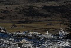 Cascade du Déroc (Michel Seguret Thanks for 11,8 M views !!!) Tags: winter france water rio river agua nikon eau wasser plateau hiver rivière pro invierno d200 acqua inverno smörgåsbord granit aubrac lozère dragongoldaward flickrpopularphotographer michelseguret