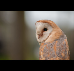 Day Six (Hasselbach Photography) Tags: bird eye owl 365 barnowl londonlondon project365 britishwildlifecentre englandengland borderfx