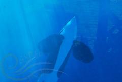 DSC_0460 (GypsySkye7) Tags: san diego killer whale orca seaworld captivity ulises