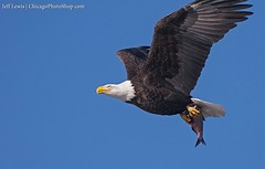 American Bald Eagle (ChicagoPhotoShop) Tags: bird birds eagle wildlife americanbaldeagle lockanddam14