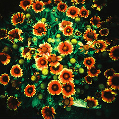 Flowers (Kerrie McSnap) Tags: flowers color colour 120 film mediumformat square holga lomo xpro lomography crossprocessed crossprocess toycamera