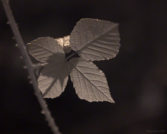 pent (Jon Downs) Tags: uk white plant black color colour macro art colors leaves closeup sepia digital canon downs ir creativity eos photo leaf jon flickr artist colours image buckinghamshire creative picture pic photograph pent brow shenleywood 400d jondowns