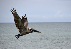 Galapagos - Floreana - Devils Crown - Pelican (sweetpeapolly2012) Tags:
