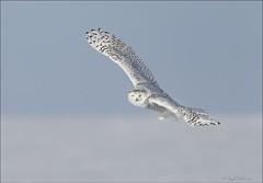 Snowy Owl (Daniel Behm Photography) Tags: snowy owl snowyowl whiteowl behm danielbehm