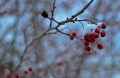 red & white (marios_ch) Tags: blue trees red sky sun white snow black flower tree green abandoned nature colors field yellow clouds forest 35mm dark grey nikon day alone branch afternoon cloudy bokeh d branches budapest harvest snowing 5100 nikkor 18g d5100