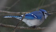 Blue (NCprofessor2008) Tags: coth greatphotographers supershot topshots naturepoetry specanimal avianexcellence diamondclassphotographer fantasticwildlife dragondaggerphoto coth5 sunrays5