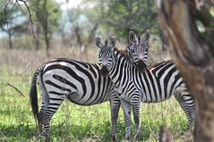 """ Look More Wierd Humans Hanging Out of Little Holes!"" (The Spirit of the World ( On and Off)) Tags: nature tanzania wildlife ngc safari zebras eastafrica seronera africananimals specanimal theserengeti allnaturesparadise zebrasinthewild zebrasinafrica"