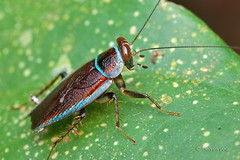 IMG_0245- Pseudophyllodromia sp. (melvynyeo) Tags: blue cockroach blattodea singapore night macro pseudophyllodromia sp